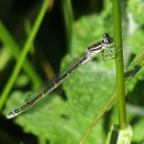 Coenagrion mercuriale (Charpentier, 1840)Coenagrion mercuriale (Charpentier, 1840)