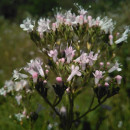 Valeriana officinalis L.Valeriana officinalis L.