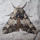 Biston strataria (Hufnagel, 1767)Biston strataria (Hufnagel, 1767)