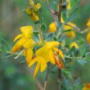 Genista ancistrocarpa SpachGenista ancistrocarpa Spach