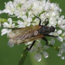 Empis sp. Linnaeus, 1758Empis sp. Linnaeus, 1758