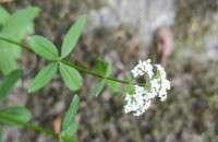 Galium broterianum Boiss. & Reut.Galium broterianum Boiss. & Reut.