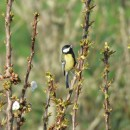 Parus major Linnaeus, 1758Parus major Linnaeus, 1758