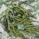 Codium sp. (J. Stackhouse, 1797)Codium sp. Stackhouse, 1797