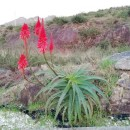 Aloe arborescens Mill.Aloe arborescens Mill.