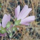 Malva neglecta Wallr.Malva neglecta Wallr.