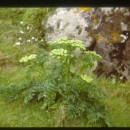 Angelica pachycarpa LangeAngelica pachycarpa Lange