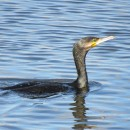 Phalacrocorax carbo (Linnaeus, 1758)Phalacrocorax carbo (Linnaeus, 1758)