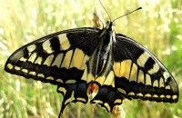 Papilio machaon (Linnaeus, 1758)Papilio machaon (Linnaeus, 1758)