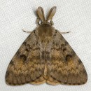 Lymantria dispar (Linnaeus, 1758)Lymantria dispar (Linnaeus, 1758)
