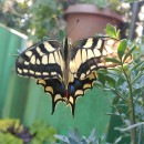 Papilio machaon Linnaeus, 1758Papilio machaon Linnaeus, 1758