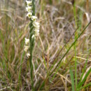 Spiranthes spiralis (L.) Chevall.Spiranthes spiralis (L.) Chevall.