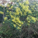Acacia dealbata LinkAcacia dealbata Link