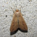 Mythimna unipuncta (Haworth, 1809)Mythimna unipuncta (Haworth, 1809)
