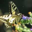 Papilio machaon (Linnaeus, 1758)Papilio machaon Linnaeus, 1758