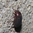 Melolonthidae sp. N.A.MELOLONTHIDAE Leach, 1819