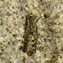 Calliptamus sp. Serville, 1831Calliptamus sp. Serville, 1831