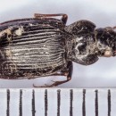Nebria sp. Latreille, 1802Nebria sp. Latreille, 1802
