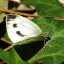 Pieris sp. Schrank, 1801Pieris sp. Schrank, 1801