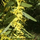 Acacia longifolia (Andrews) Willd.Acacia longifolia (Andrews) Willd.