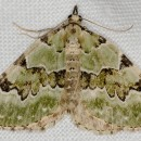 Colostygia pectinataria (Knoch, 1781)Colostygia pectinataria (Knoch, 1781)