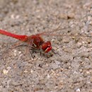 Sympetrum fonscolombei (Selys, 1840)Sympetrum fonscolombei (Selys, 1840)