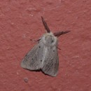 Diaphora mendica (Clerck, 1759)Diaphora mendica (Clerck, 1759)