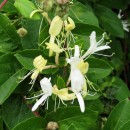 Lonicera japonica Thunb.Lonicera japonica Thunb.