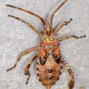Leptoglossus occidentalis Heidemann, 1910Leptoglossus occidentalis Heidemann, 1910