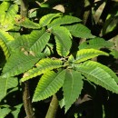 Castanea sativa Mill.Castanea sativa Mill.